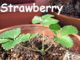 2004_1015strawberry000121.jpg